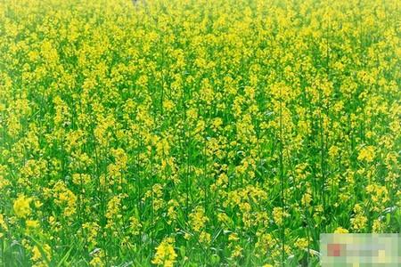 Rực rỡ mùa hoa cải vàng ngày đầu đông Hà Nội