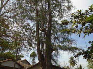 Chuyện lạ: Cả làng 'trúng số' dưới tán cây dương