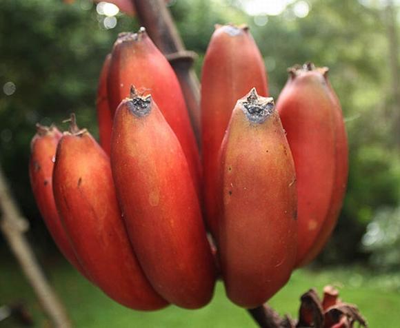500 nghìn một nải chuối đỏ: Đắt xắt ra miếng