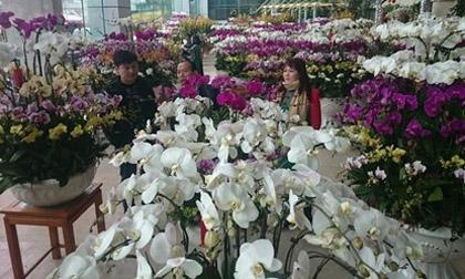 Phong lan hơn 60 triệu đồng/chậu vẫn đắt khách ở Hà Nội