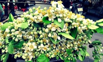 Miên man hoa bưởi tháng Ba