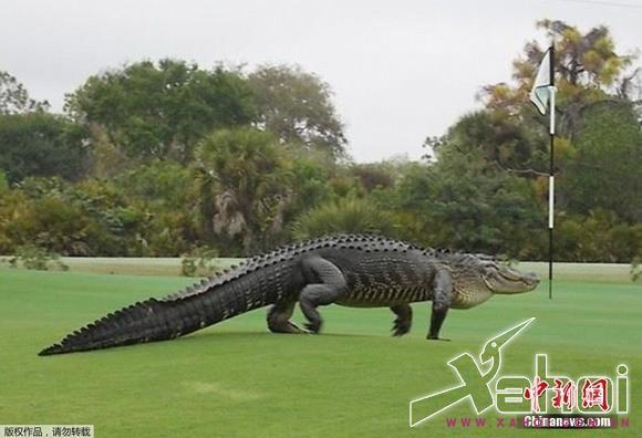 Cá sấu khổng lồ dài 4m mò vào sân golf khiến nhiều người kinh hãi