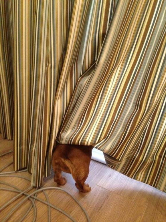 'Chết cười với những chú chó chơi trốn tìm nhưng 'giấu đầu, hở đuôi' 11
