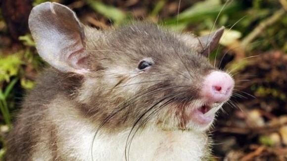 Khám phá ra loài chuột mới có mũi như lợn