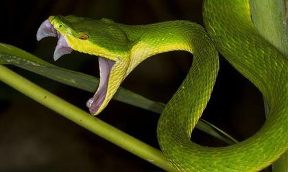 Tiết lộ về loài rắn gây ra nhiều vụ cắn người nhiều nhất Đông Nam Á