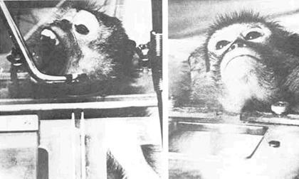 3 ca ghép đầu khỉ khó tin trong lịch sử y học