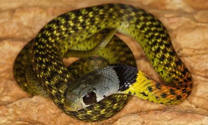 Vẻ đẹp chết người của loài rắn được mệnh danh 'nữ hoàng' ở Việt Nam