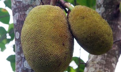 Báo Mỹ đưa tin về thứ hoa quả đặc sản ở Việt Nam có thể cứu đói cho hàng triệu người