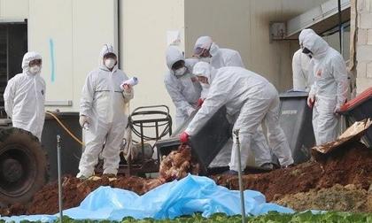 Hàn Quốc cấm vận chuyển gia cầm phòng chống H5N6