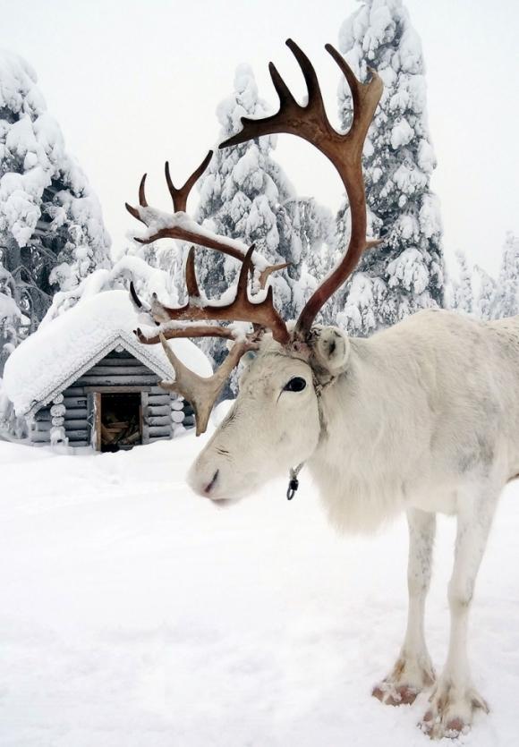 Tuần lộc là loài động vật được nuôi phổ biến ở Lapland. (Ảnh: Bored Panda)