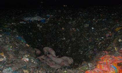Hà Giang: Bắt giữ và tiêu hủy xe chở gần 30 con lợn lở mồm long móng