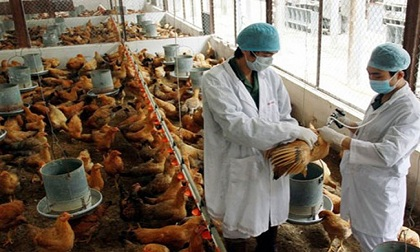 Dịch cúm gia cầm bắt đầu diễn biến phức tạp, 23 ổ dịch tại 7 tỉnh