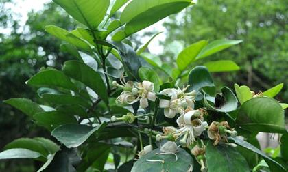 Không chỉ hoa bưởi, rất nhiều bộ phận khác từ cây bưởi mà bạn có thể sử dụng để chữa bệnh