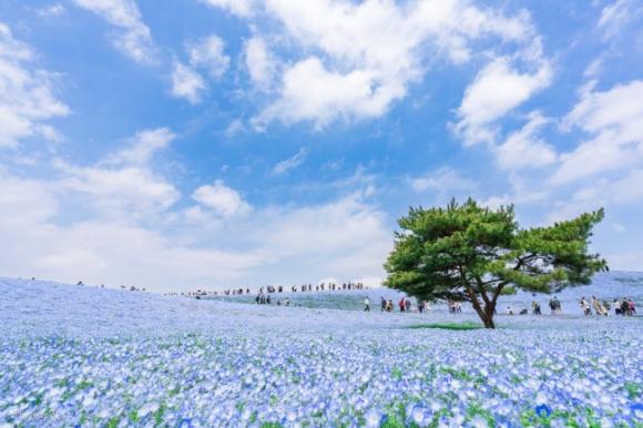 Say đắm trước hàng triệu bông hoa mắt xanh bung nở ở Nhật - 1