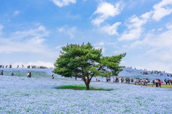 Say đắm trước hàng triệu bông hoa mắt xanh bung nở ở Nhật - 2