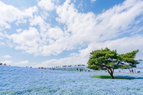 Say đắm trước hàng triệu bông hoa mắt xanh bung nở ở Nhật - 3