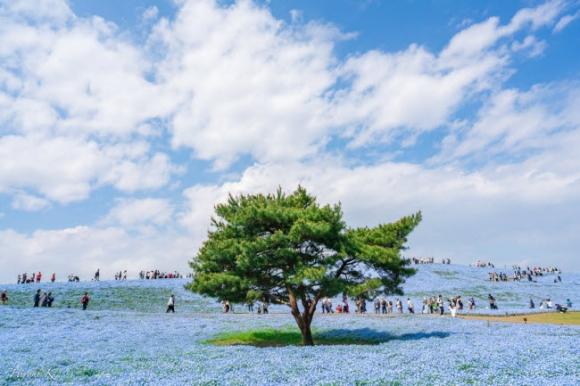 Say đắm trước hàng triệu bông hoa mắt xanh bung nở ở Nhật - 4