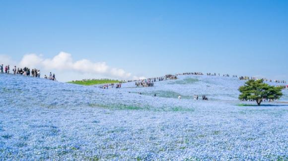Say đắm trước hàng triệu bông hoa mắt xanh bung nở ở Nhật - 6