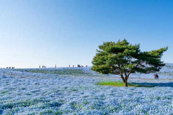 Say đắm trước hàng triệu bông hoa mắt xanh bung nở ở Nhật - 8