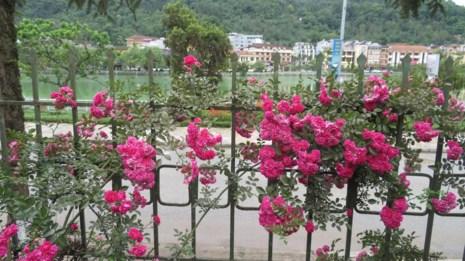 Ngắm vẻ đẹp kiêu sa, khó cưỡng của hồng leo Sa Pa - 6
