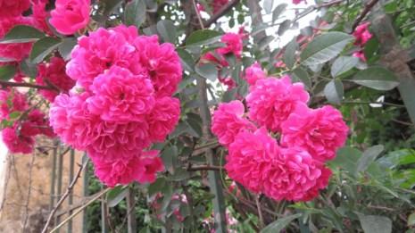 Ngắm vẻ đẹp kiêu sa, khó cưỡng của hồng leo Sa Pa - 3