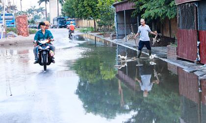 Hà Nội: Ngập úng quanh năm, người dân thả vịt ngay trên đường khu đô thị