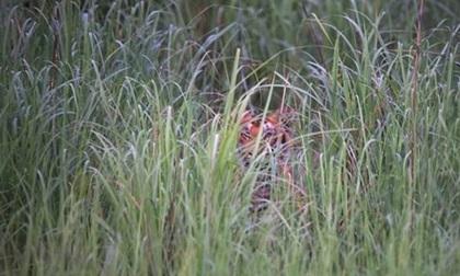 Rộ hiện tượng vứt người già vào rừng cho hổ vồ chết để trục lợi