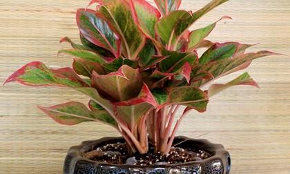Muốn tài lộc vào nhà như 'lũ', trồng ngay những loại cây phát lộc vừa đẹp vừa sang này