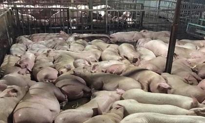 Bắt quả tang hơn 5.000 con lợn bị tiêm thuốc an thần trước khi giết mổ