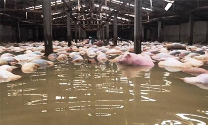 Tin mới nhất về số lợn bị chết đuối trong chuồng nuôi: Số lợn chết đã lên đến gần 6.000 con