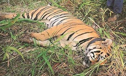 Ấn Độ: Hổ cái giết 4 người ăn thịt đã tự 'nộp mạng'