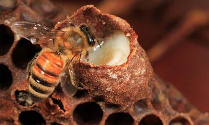 8 lợi ích tuyệt vời của sữa ong chúa đối với sức khỏe