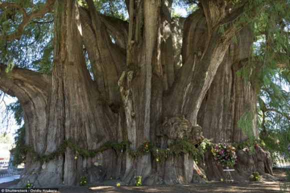 Ngỡ ngàng trước những cây cổ thụ kỳ dị nhất hành tinh - 10