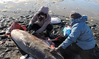 Rét kỷ lục ở Mỹ: Người chết cóng, chó đông cứng, cá mập sốc chết