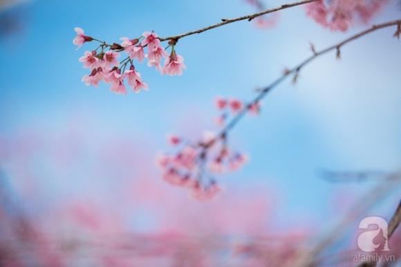 Đà Lạt đẹp như bản tình ca trong mùa mai anh đào nở rộ - Ảnh 7.