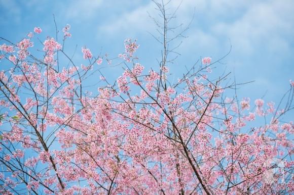 Đà Lạt đẹp như bản tình ca trong mùa mai anh đào nở rộ - Ảnh 3.