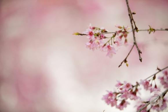 Đà Lạt đẹp như bản tình ca trong mùa mai anh đào nở rộ - Ảnh 8.