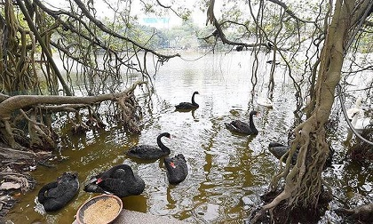 Đàn thiên nga ở hồ Gươm bị bắt đi trong đêm