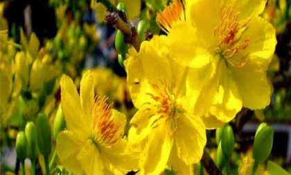 10 loại hoa mang lại may mắn, tài lộc ngày Tết