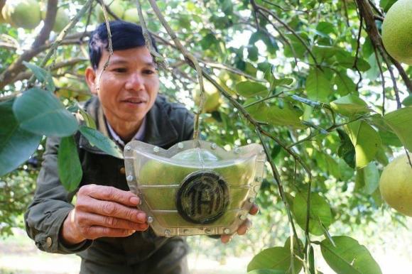 Bưởi Tết Tài – Lộc bán nửa triệu đồng một quả ở Nghệ An vẫn cháy hàng - Ảnh 1.