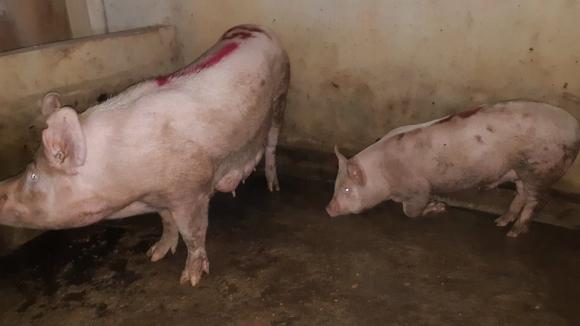 Môi trường - Vụ dân tố cơ sở giết mổ phát dịch: Lợn dương tính bệnh lở mồm long móng (Hình 2).