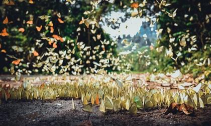 'Lạc lối' giữa rừng bướm ở vườn quốc gia Cúc Phương