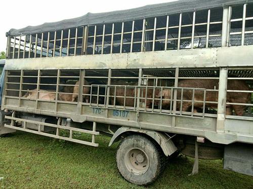 Hãi hùng cung đường nhập lậu thịt lợn