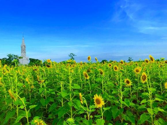 Cánh đồng hoa hướng dương ở Thái Bình hút khách những ngày đầu hè - 1