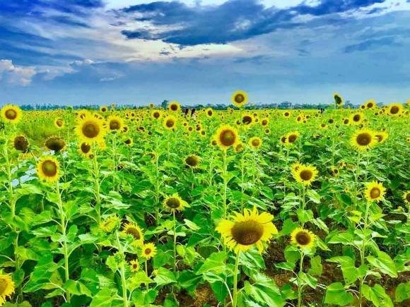 Cánh đồng hoa hướng dương ở Thái Bình hút khách những ngày đầu hè - 2