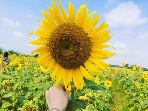 Cánh đồng hoa hướng dương ở Thái Bình hút khách những ngày đầu hè - 3