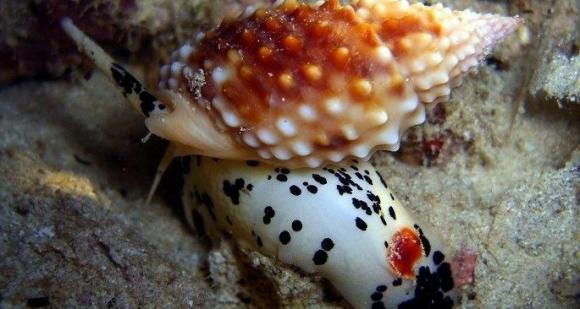 Tránh xa loài ốc có độc tố nhanh và mạnh hơn cả cá lóc này nếu bạn không muốn chết bất đắc kỳ tử - Ảnh 2.