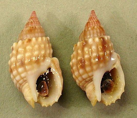 Tránh xa loài ốc có độc tố nhanh và mạnh hơn cả cá lóc này nếu bạn không muốn chết bất đắc kỳ tử - Ảnh 3.