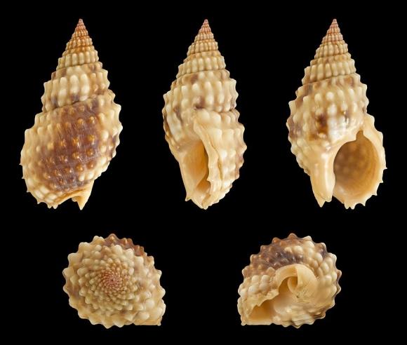Tránh xa loài ốc có độc tố nhanh và mạnh hơn cả cá lóc này nếu bạn không muốn chết bất đắc kỳ tử - Ảnh 5.