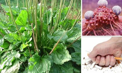 Cây cỏ dại quyền lực nhất thế giới: Diệt tận gốc tế bào ung thư, trợ thủ đắc lực cai nghiện thuốc lá